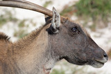 An Eland Antelope in Cape Point Nature Reserve, South Africa - 208056053