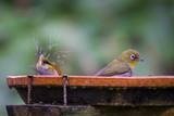Cape White-eyes splash water as they enjoy the birdbath - 208058011