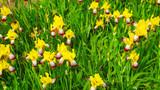 A bed of beautiful yellow irises.