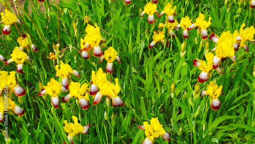Aluminium Iris A bed of beautiful yellow irises.