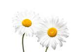 Camomile flowers isolated on white background, floral motif wallpaper