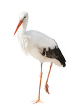 isolated single stork standing on one leg
