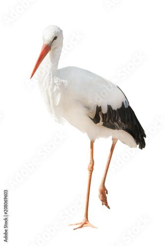 isolated single stork standing on one leg