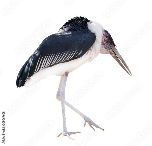 marabou stork isolated on white