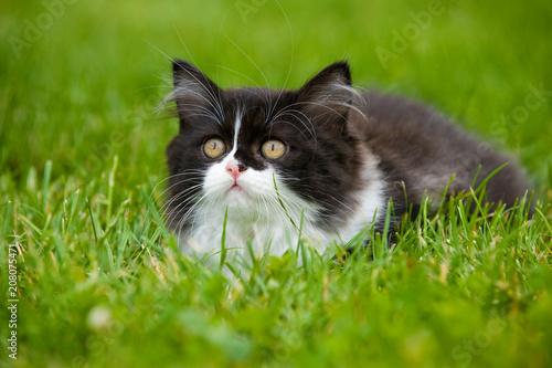Fotobehang Natuur Britisch Langhaar Kätzchen in einer Wiese