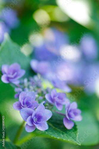 Fotobehang Hydrangea 八重咲きの紫陽花