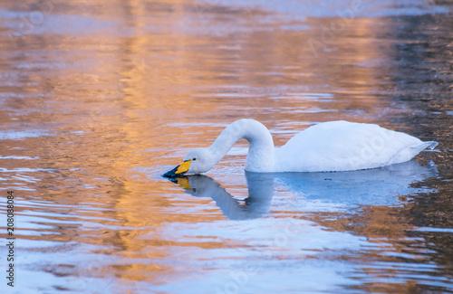 Aluminium Zwaan Whooper swan from Kajaani River. Kajaani, Finland.