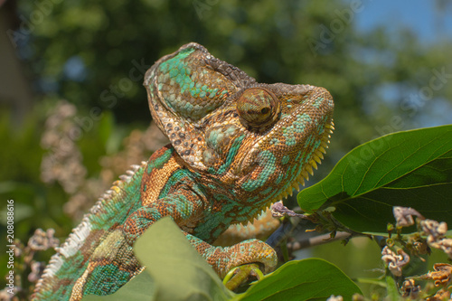 Fotobehang Kameleon Green chameleon camouflaged by taking colors of its nature