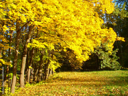 Fotobehang Oranje Beautiful autumn maple trees