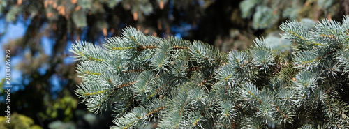background of coniferous evergreen spruce forests - 208096059