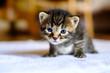 Petit chaton noir tigré avec les yeux bleu, agé de deux semaines, assis. - 208139832