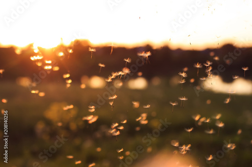 beautiful light seeds of a dandelion flower circling in the air on the background of the sunset sky on a summer - 208140256