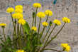 A group of yellow dandelions grow on a gray background of wall