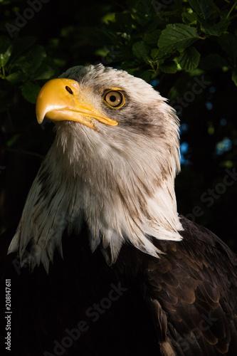 Canvas Eagle Adler