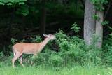 Whitetail Deer 5 - 208148692