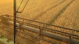 View from the cockpit of combine harvester gathers the wheat at sunset. Harvesting grain field, crop season - 208154095