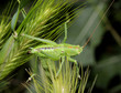 cavalletta verde dalle lunghe antenne (Tettigonia sp.)