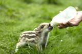 Bottle fed on wild Boar - 208165694