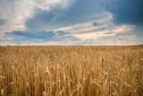 Ripe wheat in a field - 208166087