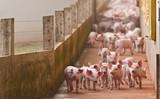 Fototapeta Fototapety ze zwierzętami  - leitão agronegócios © Art by Pixel