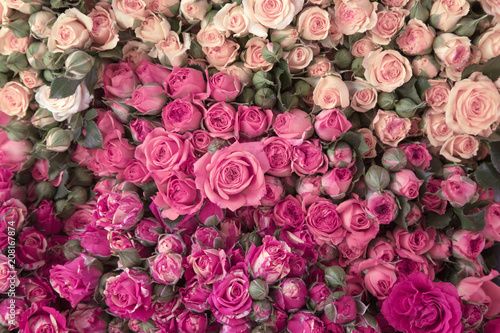 Pink roses - 208167874