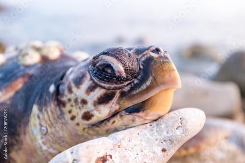 Aluminium Schildpad Tartaruga stanca o apparentemente morta adagiata sulle rocce della costa Salentina.