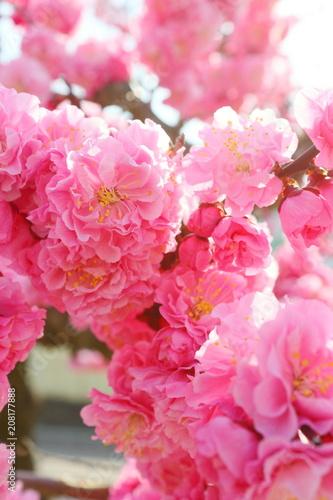 Fotobehang Candy roze 八重咲きの紅梅