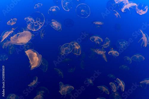 Fototapeta Beautiful Swarm of Jellyfish