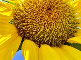 Closeup of a bright yellow sunflower in natural light