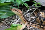 Venomous South American Bushmaster Snake (Lachesis muta) - 208184454