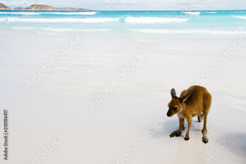 Fotobehang Kangoeroe Kangaroos on White Sand Beach