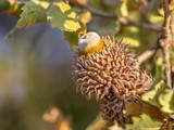 Acorn of Austrian oak - 208186628