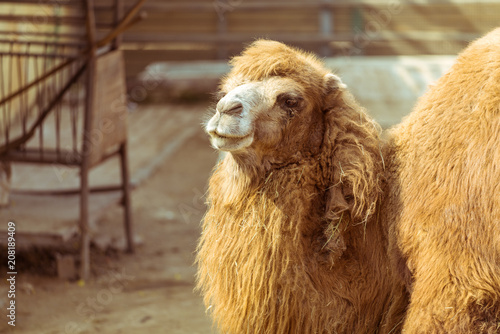 Canvas Kameel The hairy camel in the zoo
