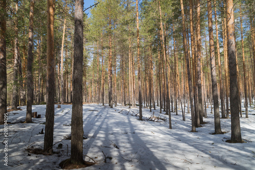 Fotobehang Lente Bright sunny pine forest in the snow