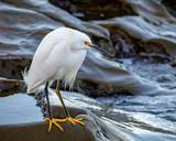 Hunting Snowy Egret - 208195042