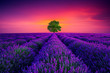 Tree and lavender field in Provence