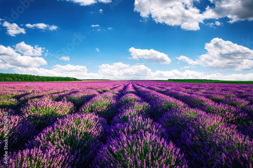 Fotobehang Lavendel Lavender field in Provence