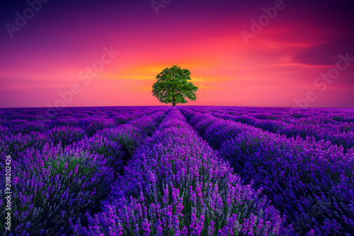 Tree and lavender field in Provence - 208202426