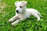 white  puppy. puppy outdoors on a sunny day