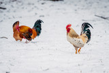 rooster stands on a white snow - 208209214