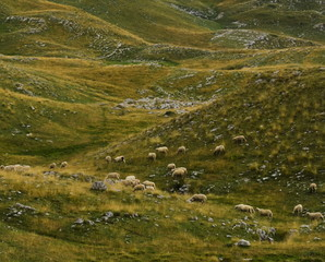 Sheep on a pasture on an alpine rocky meadow