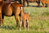 Wild horses, mare and foal in wild life - 208216897