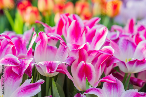 Plexiglas Roze field of blooming colorful tulips, spring flowers in the garden