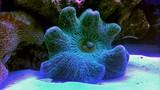 Carpet Anemone in reef aquarium tank  - 208226281