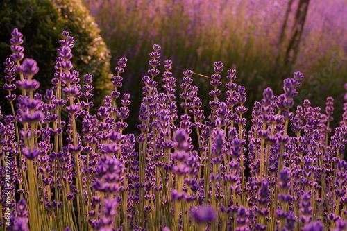 Fotobehang Lavendel Lavendel