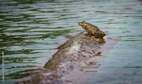 Fotobehang Kikker Frosch am Schwimmteichufer