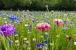 Leinwanddruck Bild - campo di fiori fiordalisi viola bello sfondo