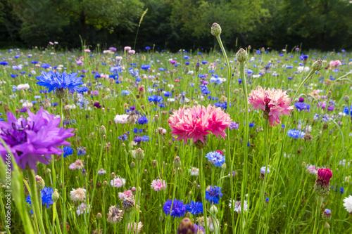 Leinwanddruck Bild campo di fiori fiordalisi viola bello sfondo