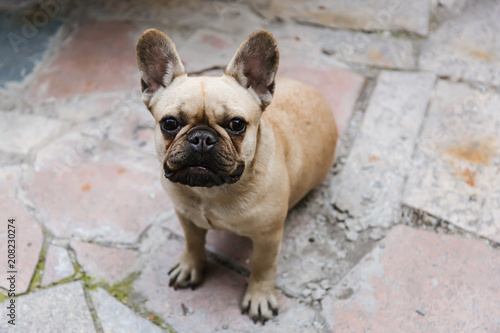 Fotobehang Franse bulldog Portrait of a french bulldog smiling with mouth a granite background