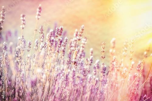 Fotobehang Lavendel Selective and soft focus on lavender flower, beautiful lavender in flower garden lit by sunlight